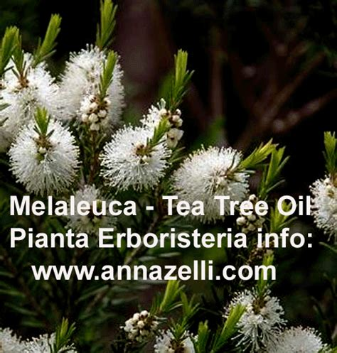 tea tree uso interno melaleuca melaleuca melaleuca pianta officinalis pianta