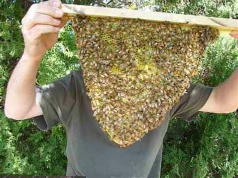 how to extract honey from a top bar hive kenyan top bar beehive plans male models picture