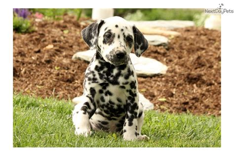 dalmatian puppies near me dalmatian puppy for sale near lancaster pennsylvania a2cf0e40 4221