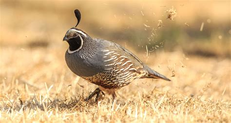 california quail audubon field guide