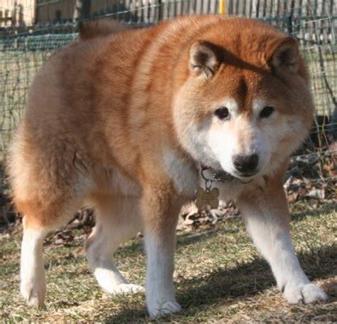 shiba inu puppy rescue tri state shiba inu rescue