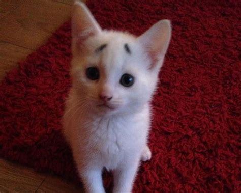 berta tiene un gatito un gatito que tiene cara de sorpresa gracias a sus cejas naturales schnauzi com