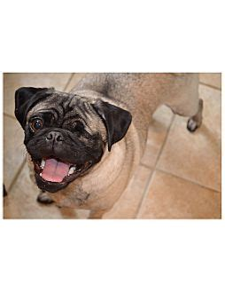 delaware valley pug rescue pugsley adopted puppy avondale pa pug