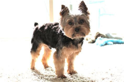 yorkshire short cuts yorkie short cuts 36 best images about puppies on