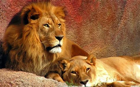 wallpaper hd 1920x1080 lion lion hd wallpapers 1080p wallpapersafari