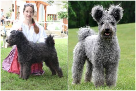 how is a puppy pumi puppies catskill pumi