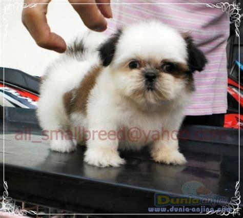 Flat Putih Kumis dunia anjing jual anjing shih tzu dijual anakan