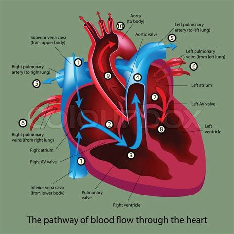 diagram of the and blood flow diagram blood flow