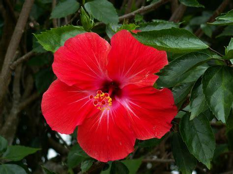 gambar bunga kebangsaan malaysia gambar