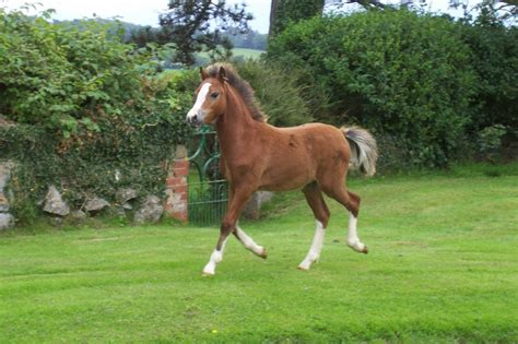 welsh section a foals for sale welsh sec a bay colt foal beaumaris isle of anglesey