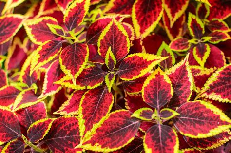 Mint Color by Coleus Plant Care For Color In Shade