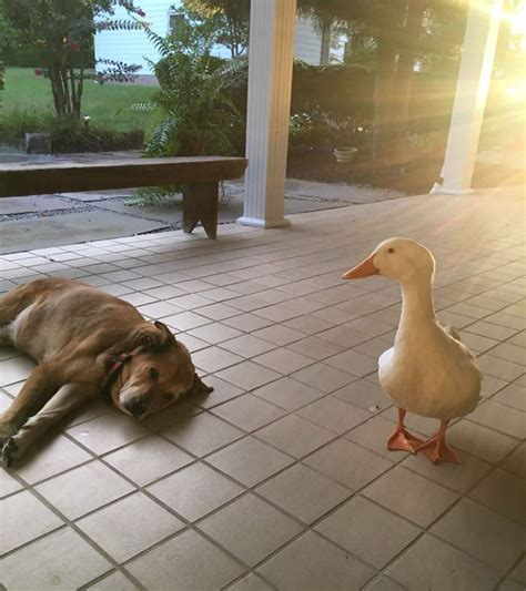 puppy depression after this s best friend died he was depressed for 2 years but then this duck
