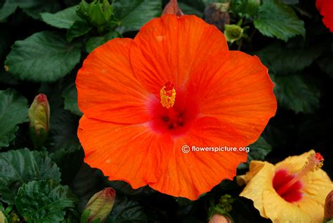 which state has a hibiscus 100 which state has a hibiscus amazon com hibiscus