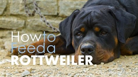 how do you a rottweiler best food for rottweilers pros cons of the best options herepup