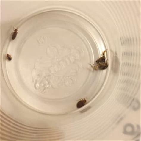 bed bugs las vegas excalibur hotel las vegas nv united states bed bugs