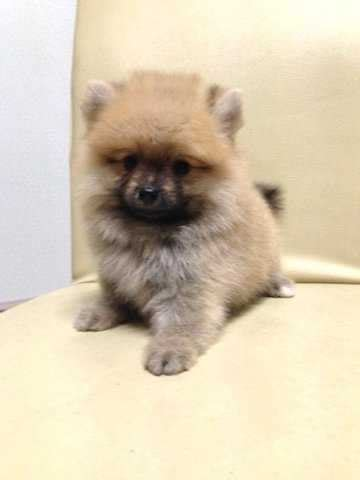 teddy pomeranian price teddy orange pomeranian thick fur quality for sale adoption from selangor klang
