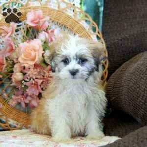 teddy puppies for sale in nj shichon teddy puppies for sale in de md ny nj philly dc and breeds picture