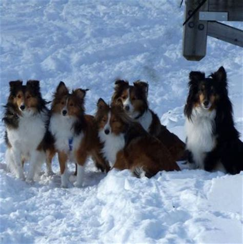 rescue dogs ct pin by toshiyuki manabe on sheltie sheltie
