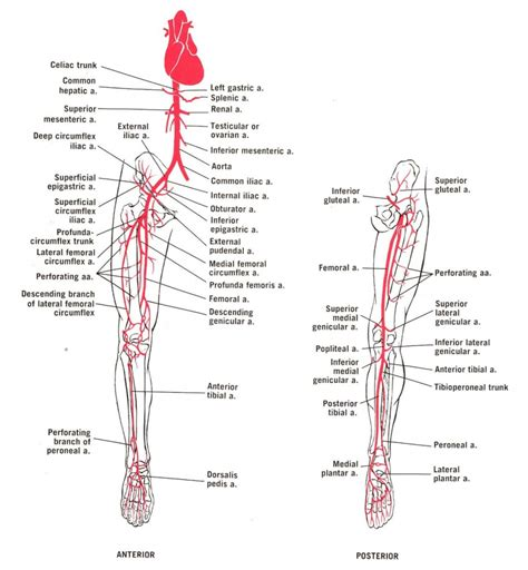diagram of the arteries leg arteries anatomy human anatomy diagram