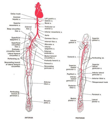diagram of arteries leg arteries anatomy human anatomy diagram