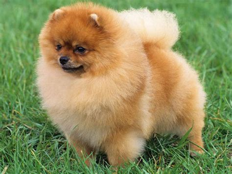 how big can a pomeranian get pomeranian pictures