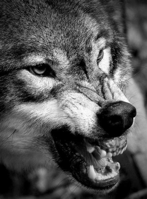 Angry Wolf best 25 angry wolf ideas on wolves wolf