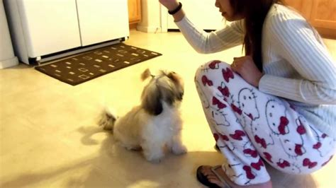 raising a shih tzu shih tzu puppy