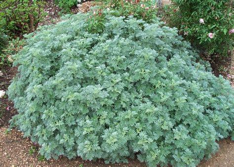 artemisia wormwood 187 julie mendelsohn master gardener