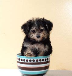 raising a yorkie poo 1000 images about yorkie poo on yorkie yorkie poo puppies and teacup