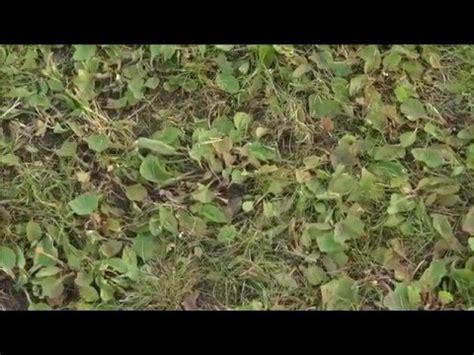 Unkraut Auf Dem Rasen 6790 by Unkraut Wildkraut Aus Dem Rasen Entfernen Mit Dem Compo
