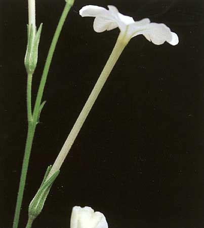 Folia Fg 28 factsheet nicotiana megalosiphon subsp sessilifolia