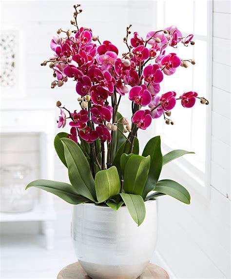 cura orchidee in vaso acquista orchidea phalaenopsis grande bakker