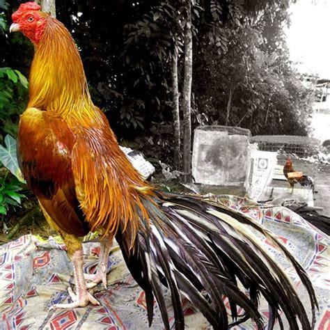Bibit Ayam Bangkok Yang Bagus cara merawat ayam bangkok aduan agar siap tarung