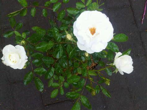 Jual Bibit Bunga Mawar Di Makassar jual tanaman mawar floribunda putih bibit
