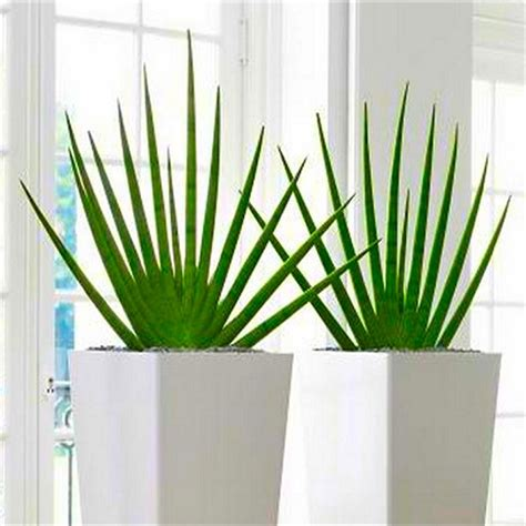 thinking about modern indoor plants pair of large sansevieria cylindrica fans contemporary