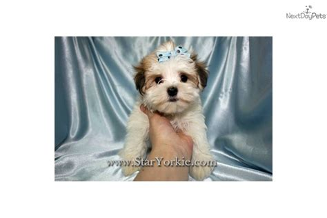teacup havanese price havanese puppy for sale near los angeles california ea5e4bb9 3141