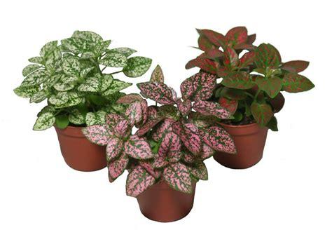 plantas interior plantas de interior hypoestes phyllostachya plantas