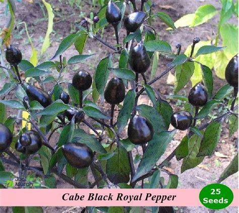 1pack Benih Cabe Black Royal Pepper benih cabe black royal pepper jualbenihmurah