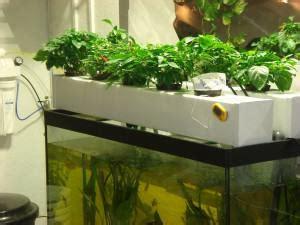 aquaponic cannabis cultivation alchimia blog
