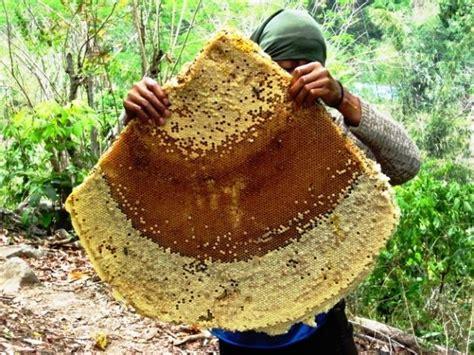 Madu Murni Sumbawa Murnisari Grade A madu murni sumbawa indonesia honey collecting and traditional beehives
