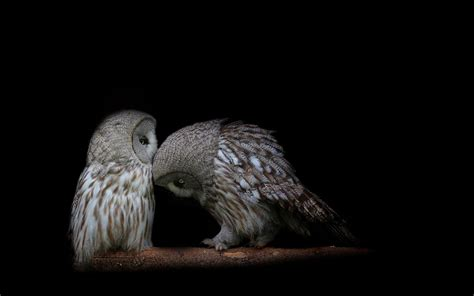 black and white owl wallpaper owl wallpapers wallpaper cave