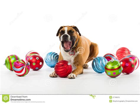 boxer dog xmas decoration boxer with ornaments royalty free stock image image 27769076