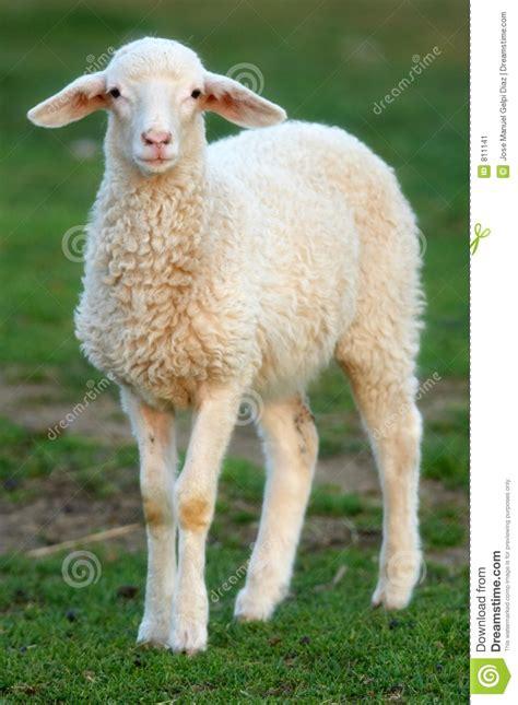 imagenes animadas de ovejas oveja imagen de archivo imagen 811141