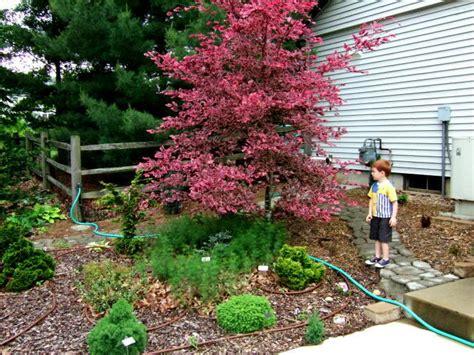 Tri color beech fagus sylvatica roseomarginata gro best gardens