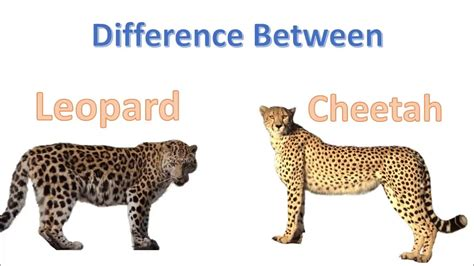 what s the difference between a jaguar and leopard and jaguar comparison www miifotos