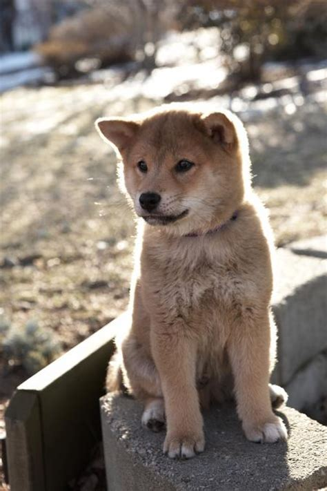 what of was hachi hachiko puppy www pixshark images galleries with a bite