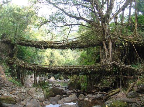 living bridges the living bridges of meghalaya the velvet rocket