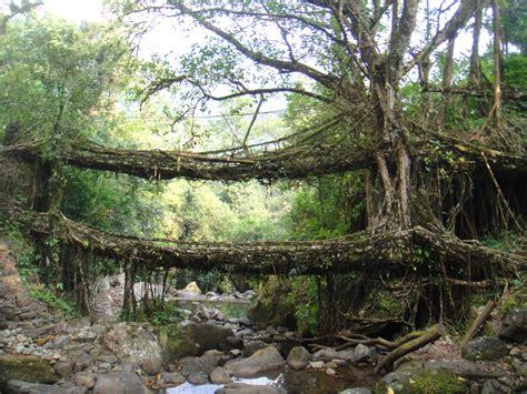 Living Bridges by The Living Bridges Of Meghalaya The Velvet Rocket