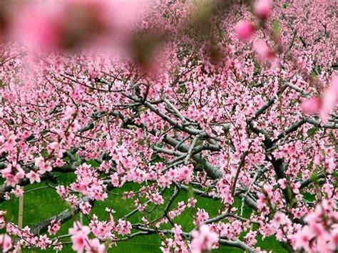 fiore di pesco significato tatuaggi fiori di pesco significato fiori fiori di