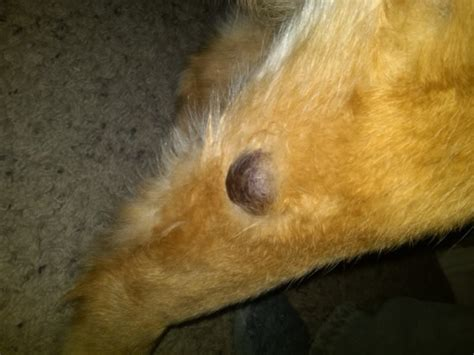 tumors on dogs pictures cancerous tumors dogs images